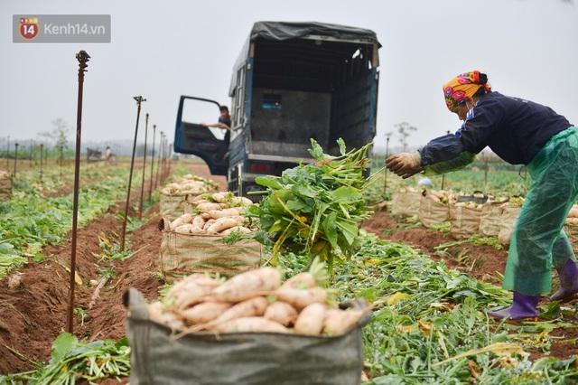 Ảnh: Nông dân Mê Linh nuốt nước mắt, nhổ bỏ hàng trăm tấn củ cải vì không tiêu thụ được - Ảnh 16.