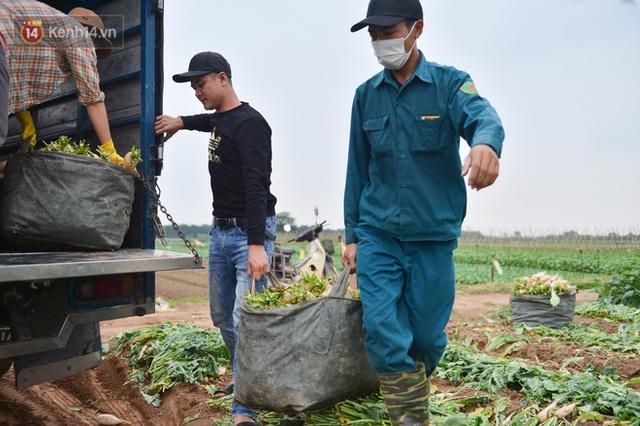 Ảnh: Nông dân Mê Linh nuốt nước mắt, nhổ bỏ hàng trăm tấn củ cải vì không tiêu thụ được - Ảnh 17.