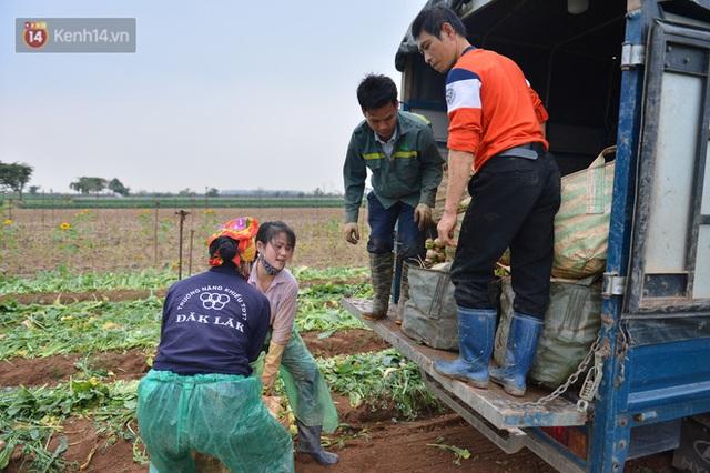Ảnh: Nông dân Mê Linh nuốt nước mắt, nhổ bỏ hàng trăm tấn củ cải vì không tiêu thụ được - Ảnh 18.