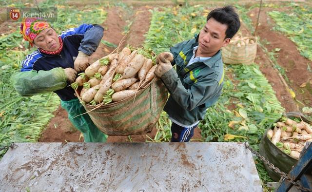 Ảnh: Nông dân Mê Linh nuốt nước mắt, nhổ bỏ hàng trăm tấn củ cải vì không tiêu thụ được - Ảnh 19.