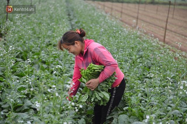 Ảnh: Nông dân Mê Linh nuốt nước mắt, nhổ bỏ hàng trăm tấn củ cải vì không tiêu thụ được - Ảnh 20.