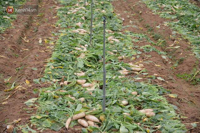 Ảnh: Nông dân Mê Linh nuốt nước mắt, nhổ bỏ hàng trăm tấn củ cải vì không tiêu thụ được - Ảnh 4.