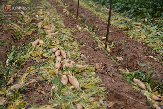 Ảnh: Nông dân Mê Linh nuốt nước mắt, nhổ bỏ hàng trăm tấn củ cải vì không tiêu thụ được - Ảnh 5.
