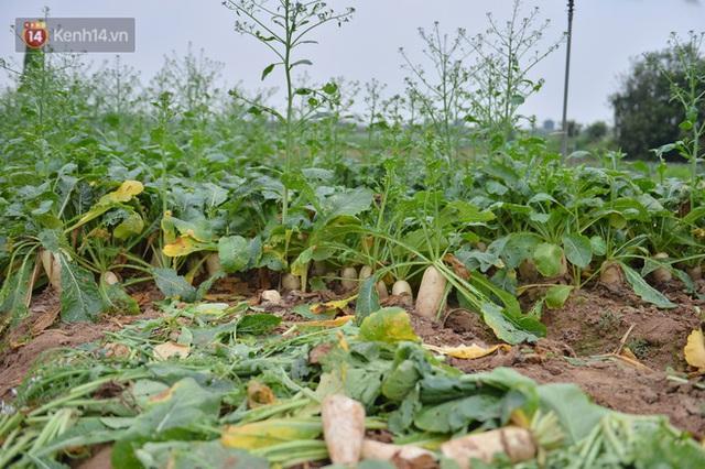 Ảnh: Nông dân Mê Linh nuốt nước mắt, nhổ bỏ hàng trăm tấn củ cải vì không tiêu thụ được - Ảnh 8.