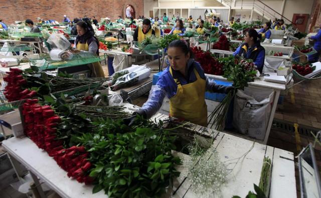 (Bài Tết) Colombia: Từ trùm buôn ma túy đến công xưởng hoa cho lễ Valentine, thu hàng trăm triệu USD/ngày dù không kỷ niệm ngày 14/2 - Ảnh 1.