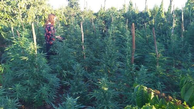 Trồng hàng trăm cây cần sa, chủ vườn khai để cho... gà ăn?!  - Ảnh 1.