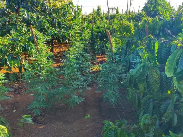Trồng hàng trăm cây cần sa, chủ vườn khai để cho... gà ăn?!  - Ảnh 2.