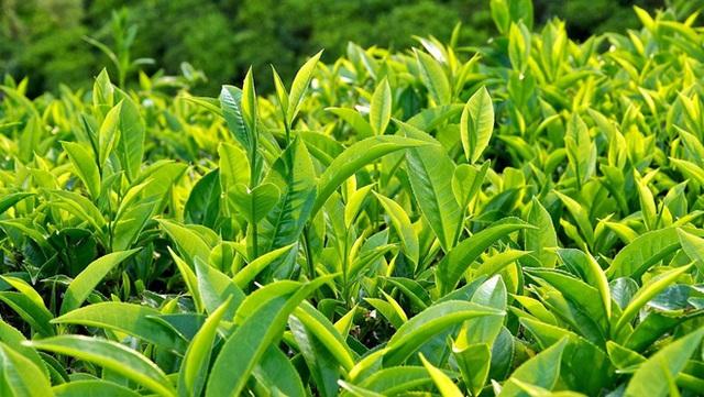 Bất ngờ với 8 thay đổi kỳ diệu trong cơ thể khi uống trà xanh: Xứng tầm TOP 1 đồ uống lâu đời nhất - Ảnh 2.