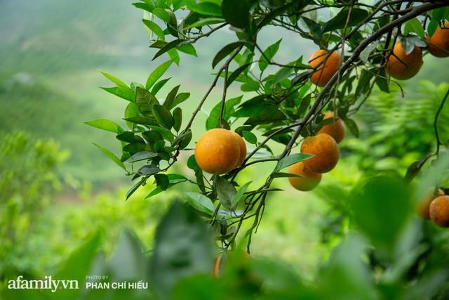 Chàng công tử đất Hà thành bỏ phố lên núi làm chủ 3 quả đồi trồng cam, mỗi năm kiếm cả tỷ bỏ túi nhưng cũng bị vùi dập đến tơi bời  - Ảnh 4.