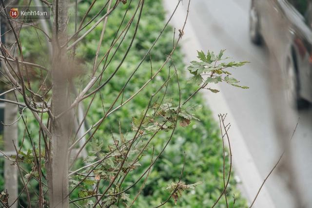 Hàng phong lá đỏ ở Hà Nội: Từ kỳ vọng Châu Âu giữa lòng Thủ đô đến những cành củi khô sắp bị thay thế - Ảnh 12.