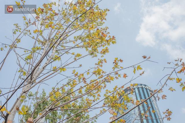 Hàng phong lá đỏ ở Hà Nội: Từ kỳ vọng Châu Âu giữa lòng Thủ đô đến những cành củi khô sắp bị thay thế - Ảnh 4.