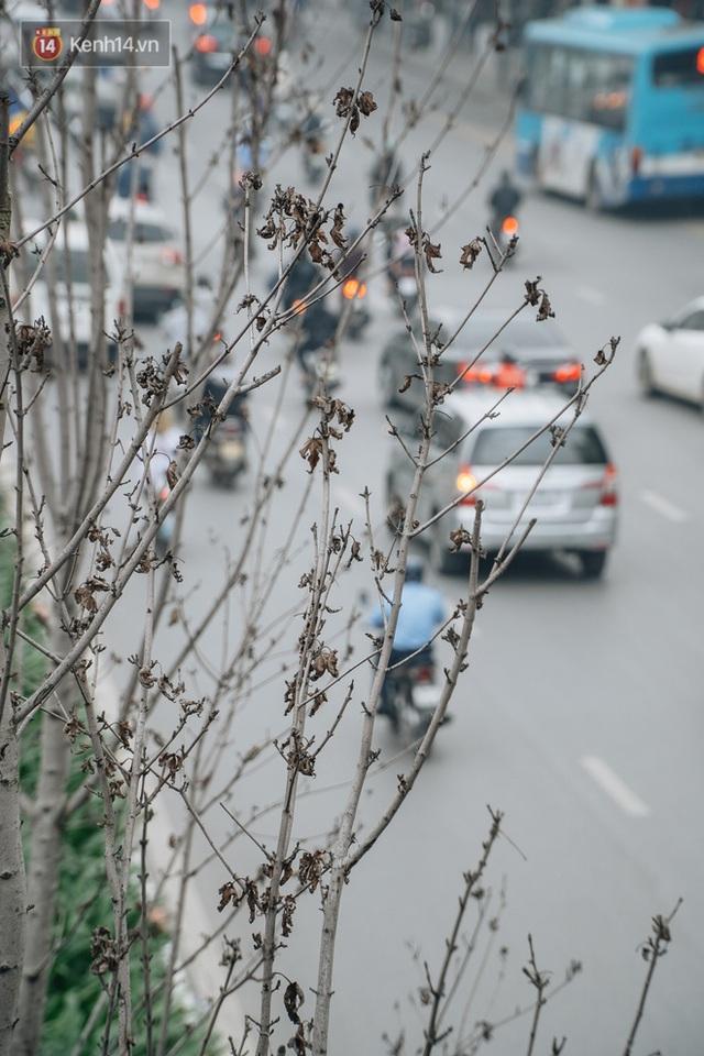 Hàng phong lá đỏ ở Hà Nội: Từ kỳ vọng Châu Âu giữa lòng Thủ đô đến những cành củi khô sắp bị thay thế - Ảnh 7.