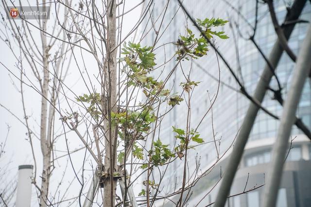 Hàng phong lá đỏ ở Hà Nội: Từ kỳ vọng Châu Âu giữa lòng Thủ đô đến những cành củi khô sắp bị thay thế - Ảnh 9.