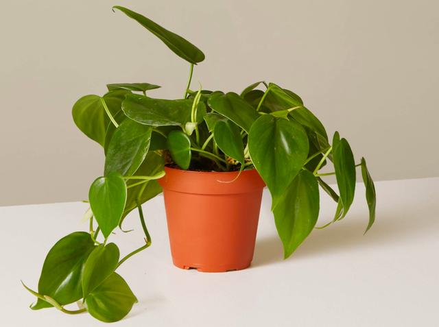 10 loại cây phong thủy tốt nhất cho phòng ngủ vì khả năng lọc không khí, giúp gia chủ phát tài lộc - Ảnh 2.
