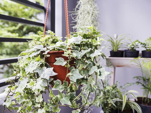 10 loại cây phong thủy tốt nhất cho phòng ngủ vì khả năng lọc không khí, giúp gia chủ phát tài lộc - Ảnh 3.