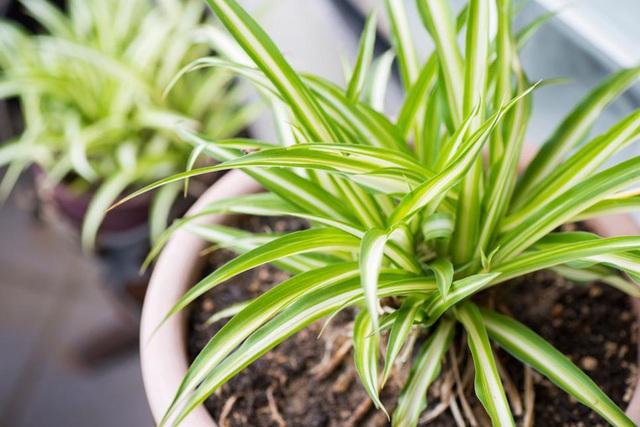10 loại cây phong thủy tốt nhất cho phòng ngủ vì khả năng lọc không khí, giúp gia chủ phát tài lộc - Ảnh 5.