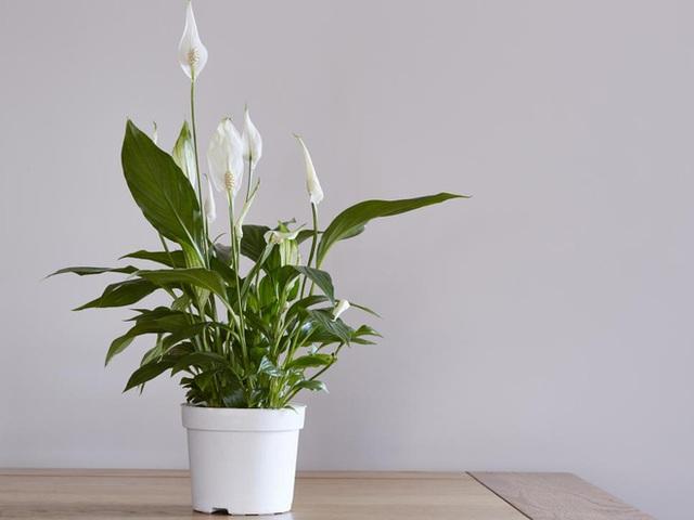10 loại cây phong thủy tốt nhất cho phòng ngủ vì khả năng lọc không khí, giúp gia chủ phát tài lộc - Ảnh 8.