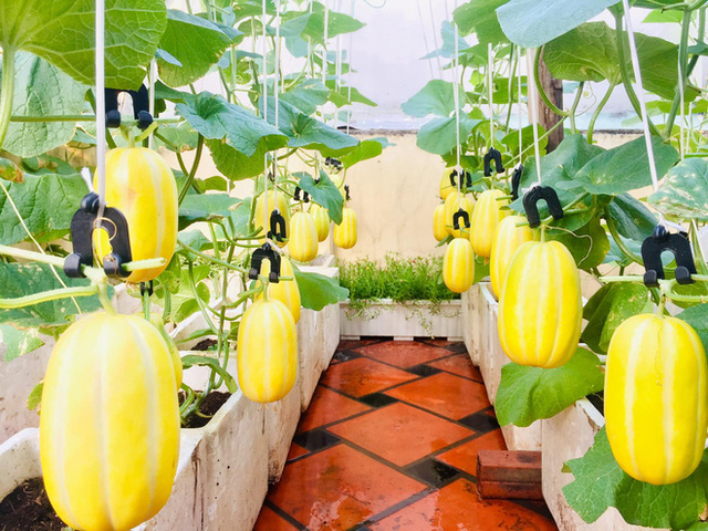 Cô gái phù phép sân thượng thành vườn dưa sai trĩu quả, quả nào quả nấy múp míp thấy mê - Ảnh 9.
