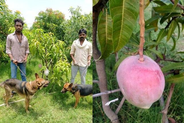 Cặp vợ chồng thuê 4 vệ sĩ, nuôi 6 con chó bảo vệ 7 quả xoài: Loại trái cây này có gì đặc biệt? - Ảnh 1.