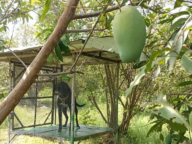 Cặp vợ chồng thuê 4 vệ sĩ, nuôi 6 con chó bảo vệ 7 quả xoài: Loại trái cây này có gì đặc biệt? - Ảnh 2.