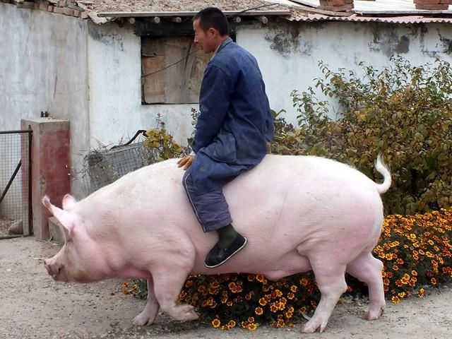 Lợn khổng lồ to bằng cả 1 con hà mã khiến giá thịt heo ở Trung Quốc lao dốc không phanh - Ảnh 2.