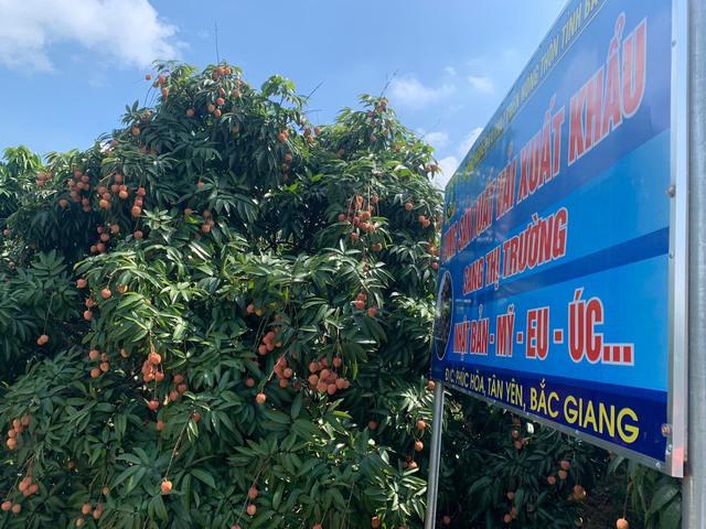 Vải thiều Bắc Giang – từ nông trại đến siêu thị Nhật: Phải đủ 10 bước xử lý – bảo quản từ lúc thu hoạch đến nằm ở quầy kệ, dưới sự giám sát nghiêm ngặt của VIAEP - Ảnh 1.