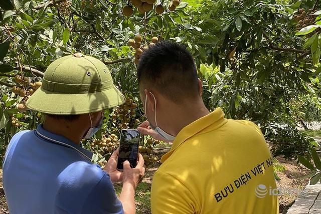 Nhãn và nông sản Hưng Yên sẽ được bán trên các sàn thương mại điện tử từ 15/7 - Ảnh 1.