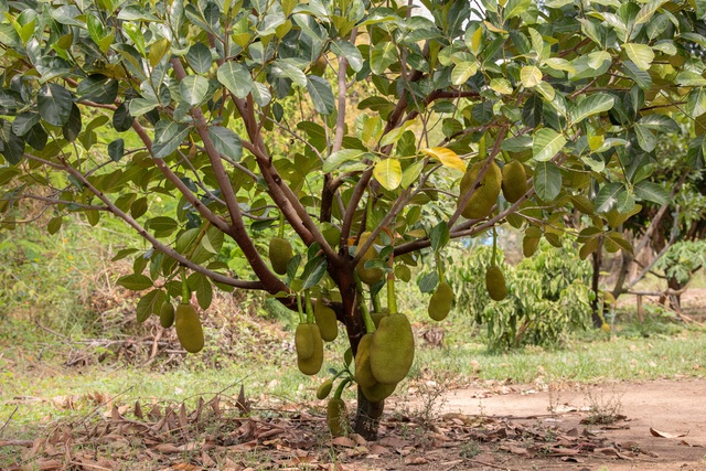 Ở nhà lá, chạy ăn từng ngày bỗng thành triệu phú nhờ trồng quả da sần sùi, đầy gai - Ảnh 1.