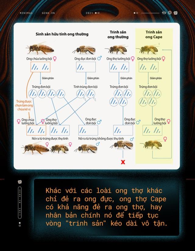 Một con ong ở Châu Phi đã tự nhân bản nó hàng triệu lần kể từ năm 1990 tới nay và tạo ra một đội quân clone bất tử - Ảnh 6.