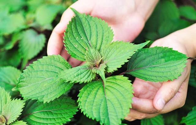 8 loại cây vừa dễ trồng vừa là kho thuốc quý trong nhà, đặc biệt là trong mùa dịch bệnh này - Ảnh 11.