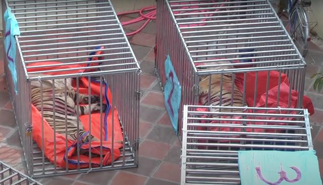 Vụ nuôi nhốt 17 con hổ trong nhà như nuôi heo: Chủ nhà xây tầng hầm rộng cả trăm mét để tránh bị phát hiện - Ảnh 6.