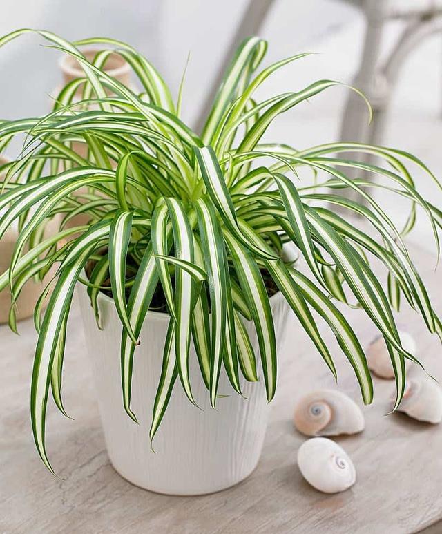 8 loài cây phù hợp trồng trong phòng tắm, vừa giúp trang trí vừa lọc không khí, khử mùi hiệu quả - Ảnh 15.