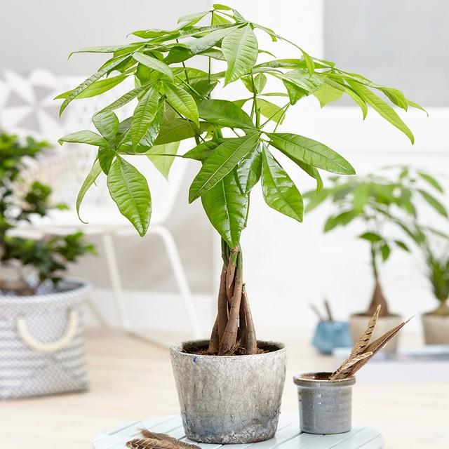 5 loại cây phong thủy hút tài vận vào nhà như lũ, giá chỉ từ 35K lại không cần chăm sóc nhiều - Ảnh 4.
