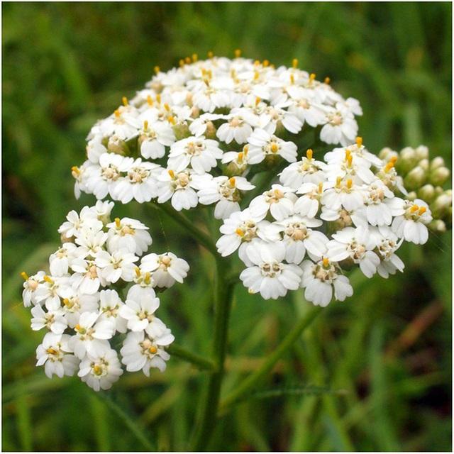 Để giảm stress và thêm yêu đời thì đừng bỏ qua việc trồng 4 loài hoa này trong nhà - Ảnh 1.