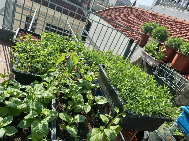 Khoảng sân thượng chỉ 15m² nhưng đủ các loại rau xanh tốt tươi không lo thiếu thực phẩm mùa dịch ở Hà Nội - Ảnh 18.