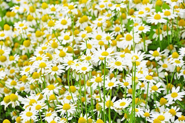 Để giảm stress và thêm yêu đời thì đừng bỏ qua việc trồng 4 loài hoa này trong nhà - Ảnh 4.