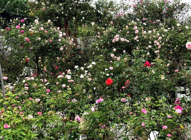 Âm thầm nghỉ việc, vay nặng lãi trồng 6.000 gốc hồng - Ảnh 3.