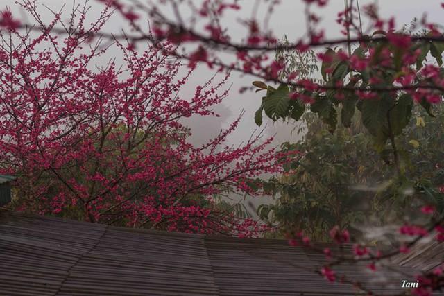 Những bông hoa anh đào ở Mường Phăng. Ảnh: Zing.