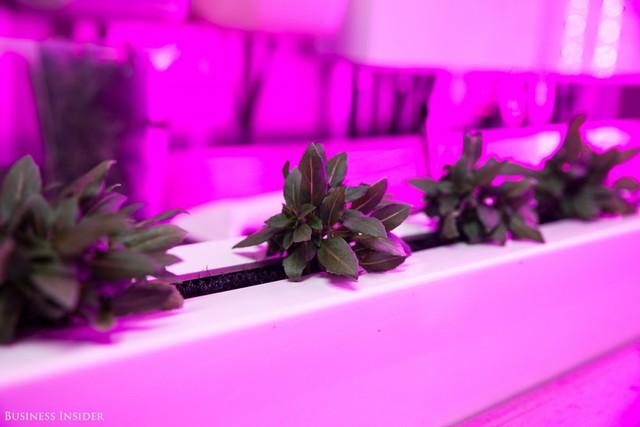 Trang trại thẳng đứng trong container mang lại rất nhiều ưu điểm so với việc canh tác thông thường. Tiết kiệm không gian, trồng trọt quanh năm và đặc biệt là tiết kiệm nước.