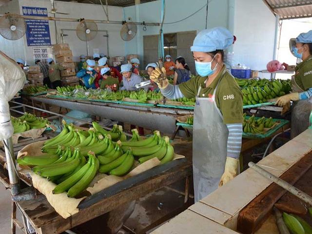 Muốn không giải cứu nông sản bất tận thì phải hiểu thị trường. Trong ảnh: Xử lý chuối để xuất khẩu tại một doanh nghiệp. Ảnh: QUANG HUY