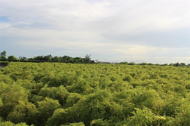Vườn cây đinh lăng nhà anh Thuận rộng bát ngát