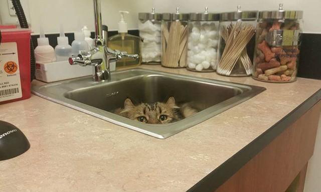 Có nhiều chú mèo gặp phải căng thẳng trong cuộc sống, từ thức ăn không ngon cho tới những đáp ứng không được thoả mãn. Chúng giống như người vậy, cũng cẳng thẳng, stress và cả nghìn yếu tố khác.
