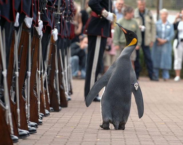 Có thể bạn chưa biết: Đây là chú chim cánh cụt đã được phong tước Hiệp sĩ - Ảnh 1.