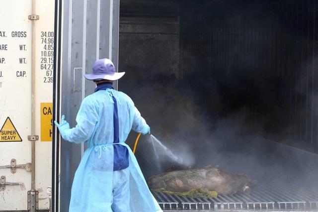 Tiếp cận lò tiêu hủy hàng ngàn con heo bị tiêm thuốc an thần - Ảnh 2.