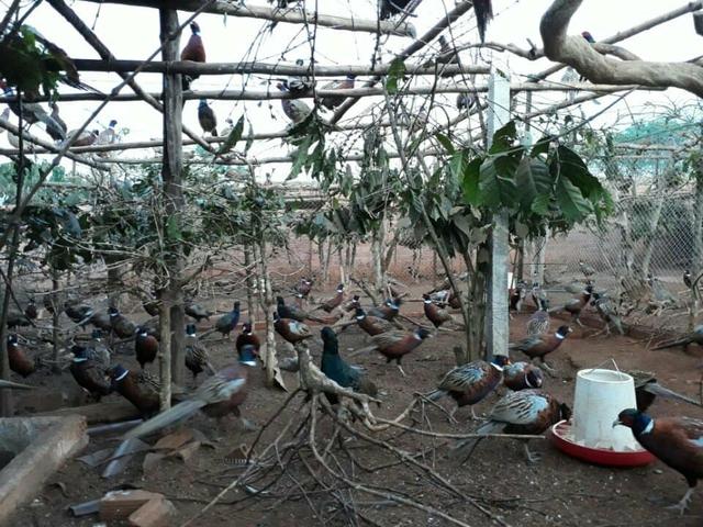 Từ việc nuôi thử vài cặp chim trĩ, đến nay anh Thiện đã có đàn chim trĩ 5.000 con.