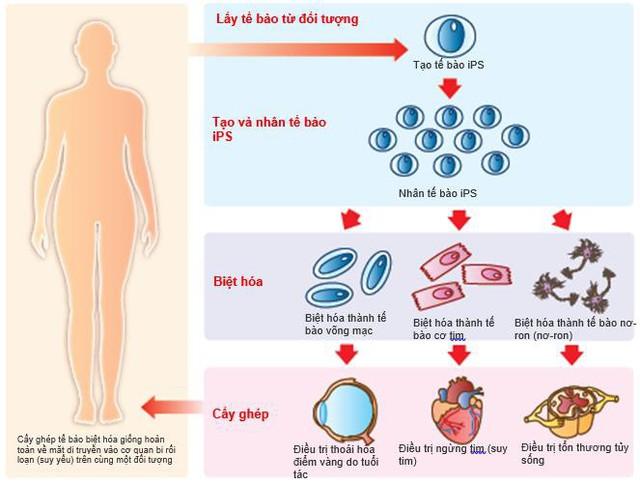 Những cơ hội cho y học từ việc tìm ra tế bào iPS.