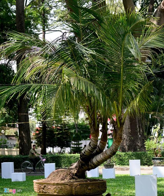 Đặc biệt trong hội hoa xuân năm nay lần đầu tiên xuất hiện cây dừa 3 thân.