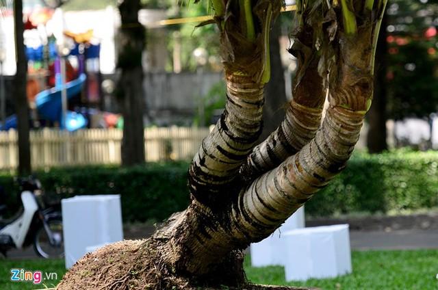 Cây dừa này có xuất xứ từ Định An (Trà Vinh).