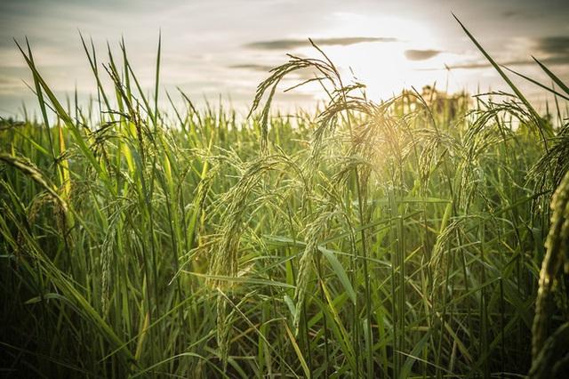 Biến đổi khí hậu đang khiến thực vật chúng ta ăn chứa nhiều đường mà lại ít dinh dưỡng hơn - Ảnh 3.