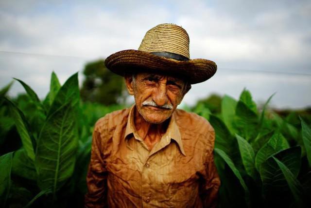 Ông lão nông dân Osvaldo Lemas, 83 tuổi, nhìn vào máy ảnh khi ông hái cây thuốc lá tại một trang trại ở tỉnh Pinar del Rio thuộc Cuba, vào ngày 28 tháng 2.